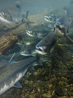 aljassky losos