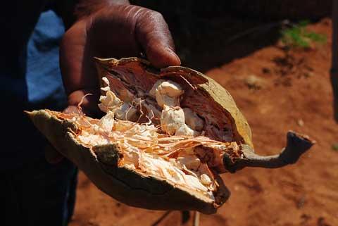 Baobab plod