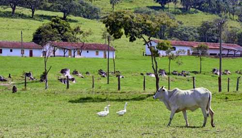 brazilsky chov krav