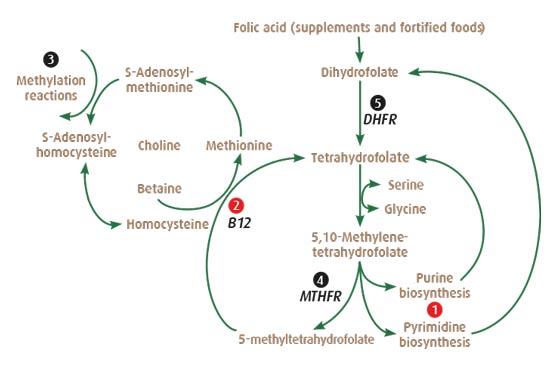 Folát cyklus