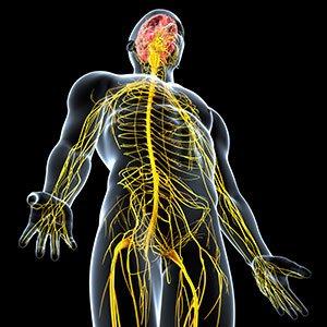 nervova soustava