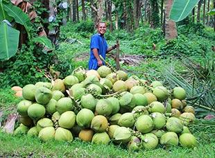 sklizen kokosovych orechu